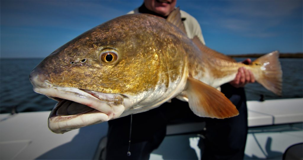 Bull Redfish in the Louisiana Marsh.